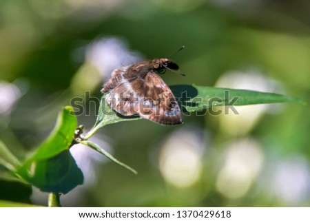 Moth photographed in Burarama, a district of the Cachoeiro de Itapemirim County, in Espirito Santo. Picture made in 2018.
