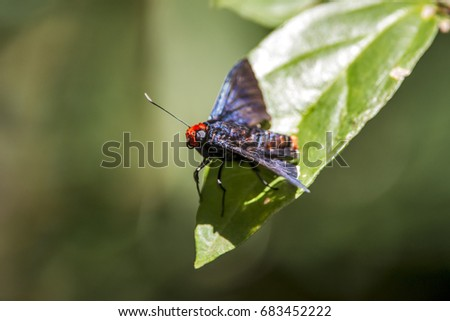 Moth photographed in Domingos Martins, Espírito Santo - Southeast of Brazil. Atlantic Forest Biome. Picture made in 2013.