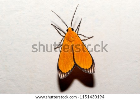 Moth photographed in Linhares, Espirito Santo, Southeast of Brazil. Atlantic Forest Biome. Picture made in 2013.