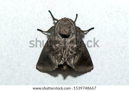 Moth photographed in Linhares, Espirito Santo. Southeast of Brazil. Atlantic Forest Biome. Picture made in 2013.