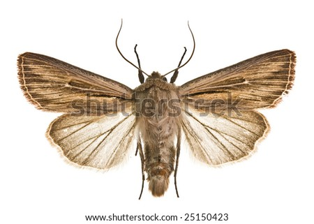 Moth Shoulder-striped Wainscot (Leucania comma) - stock photo