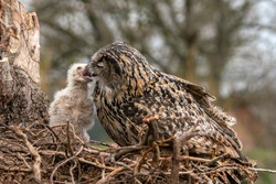 Mother and a beautiful, juvenile European Eagle Owl (Bubo bubo) in the nest in the Netherlands. Mother feeding baby. Wild bird of prey with brown feathers and large orange eyes.
