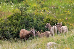 Mother and Babies Big Horn Sheep in a Meadow with Wild Flowers in Rocky Mountain National Park, Colorado, USA