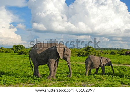 Mother and baby african elephants walking in savannah. Taken in Chobe National Park, Botswana.