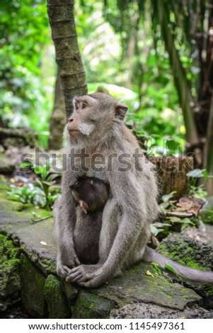 Mother and baby Balinese long-tailed monkey at Monkey Temple, Ubud #1145497361