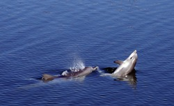 Mother and Baby Bottlenose Dophins