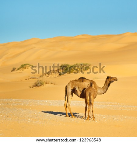 Mother and baby camel in the the Sahara Desert, Libya
