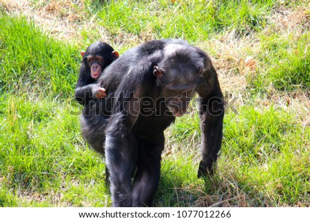 Baby monkey hugging her mother Images and Stock Photos