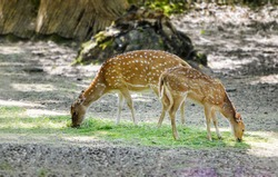 Mother and baby fallow deer eating grass in summer time.