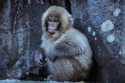Mother and Baby from Smow monkey family in the Jigokudani Park, Japan