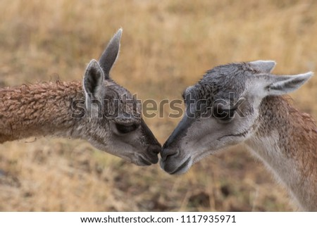 Mother and baby guanaco kissing