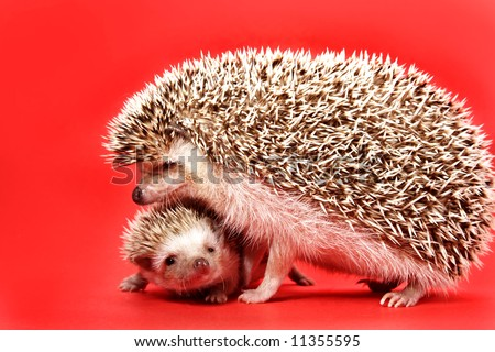 mother and baby hedgehog, red background
