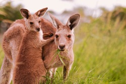 Mother and baby joey eastern grey kangaroo eating grass looking at the camera
