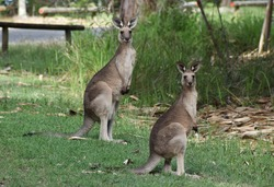 Mother and baby joey kangaroo standing in a grassy field, looking at the camera. Two Eastern grey kangaroos grazing for grass, with grass in the background