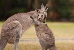 Mother and Baby Kangaroo Hug
