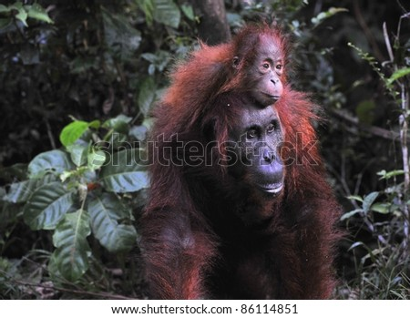 Mother and baby orangutan . Borneo