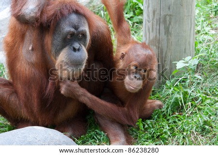 Mother and Baby Orangutan play together and having fun.