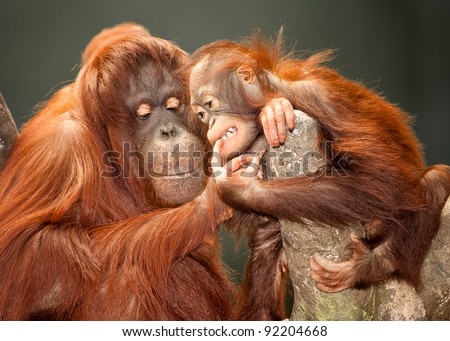 Mother and baby orangutans - stock photo