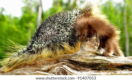 Mother and baby porcupine with quills turned up