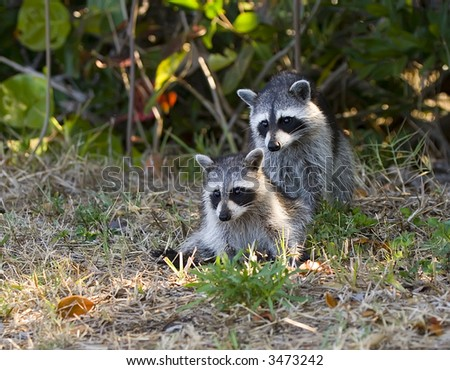 Mother and Baby Raccoon pose for a picture.