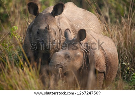Mother and baby Rhinoceros grazing in a forest clearing in Nepal's Chitwan National Park