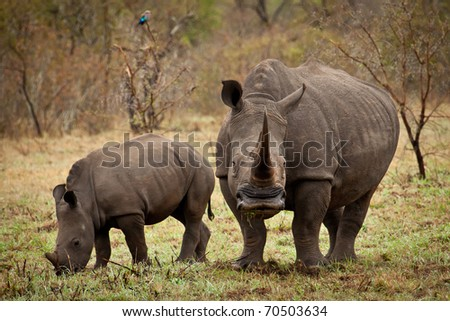 Mother and baby white rhino grazing