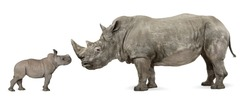 Mother and baby White Rhinoceros, Ceratotherium simum, 10 years old and 2 months old, in front of a white background
