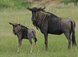 Mother and baby wildebeest looking into the camera