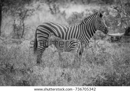 Mother and baby Zebra standing in the grass in black and white in the Kruger National Park, South Africa. #736705342