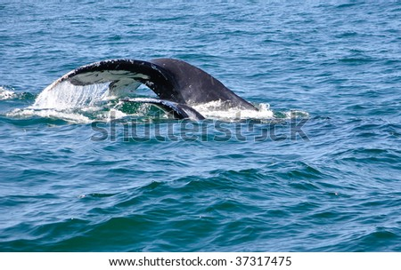 Mother and calf humpback whale flukes
