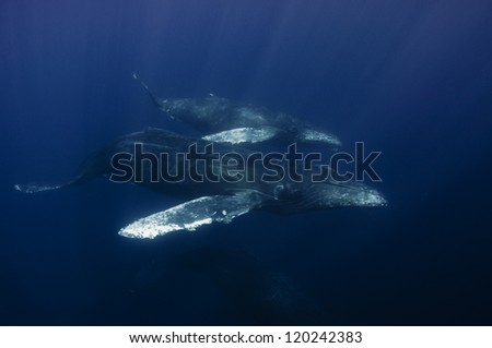 Mother and calf humpback whales swim off the coast of Cabo San Lucas, Mexico