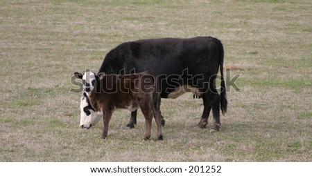 Mother and Calf in Field Near Pine Mountain, Georgia -1