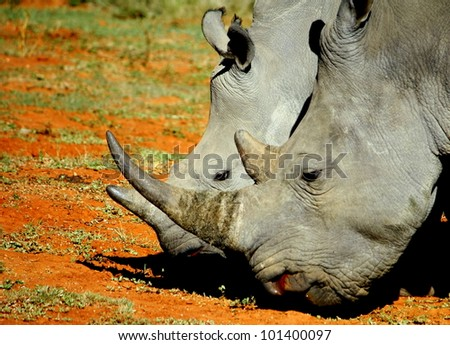 Mother and calf white rhino show off their horns in the Eastern Cape, South Africa