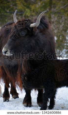 Mother and calf yak is a long-haired bovid found throughout the Himalaya region of southern Central Asia, the Tibetan Plateau and as far north as Mongolia and Russia. #1342600886