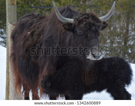 Mother and calf yak is a long-haired bovid found throughout the Himalaya region of southern Central Asia, the Tibetan Plateau and as far north as Mongolia and Russia. #1342600889