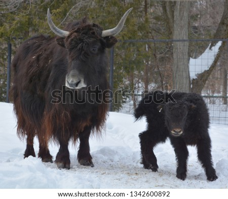 Mother and calf yak is a long-haired bovid found throughout the Himalaya region of southern Central Asia, the Tibetan Plateau and as far north as Mongolia and Russia. #1342600892