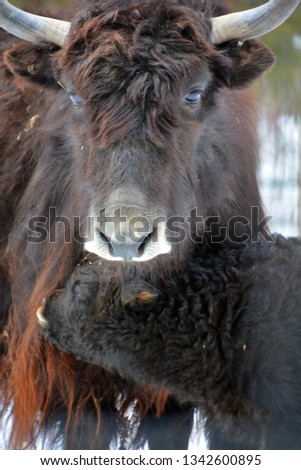 Mother and calf yak is a long-haired bovid found throughout the Himalaya region of southern Central Asia, the Tibetan Plateau and as far north as Mongolia and Russia. #1342600895