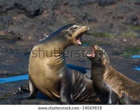 Mother and child in an intense argument.  Galapagos Sea Lion (Zalophus californianus wollebaeki).  Vulnerable and endemic to Ecuador. Puerto Egas, James Island, Galapagos, Ecuador.