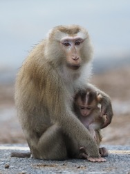 Mother and child of Southern pig-tailed macaque (Macaca nemestrina) in nature of tropical forest. Baby monkey is in mother's arms.