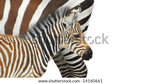 Mother and child zebra isolated on white - stock photo
