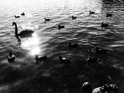 mother and children of goose (monochrome)