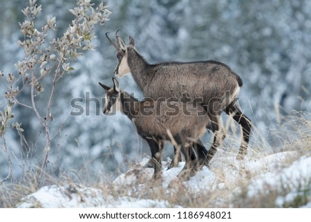 Mother and cub chamois in the snow, Rupicapra rupicapra, Chartreuse, France.