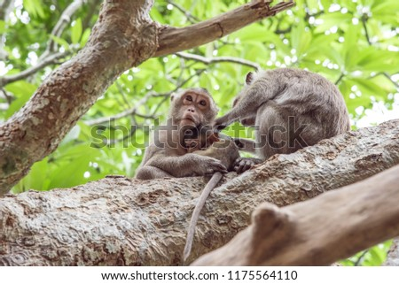 Mother and father monkey with her cute baby with forest in background.It is a family of monkeys.Love of monkeys.The coexistence of monkeys in the wild.  #1175564110