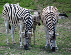 Mother and foal zebras are several species of African equids (horse family) united by their distinctive black and white stripes