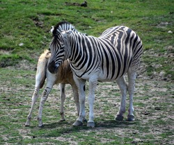 Mother and foal zebras are several species of African equids (horse family) united by their distinctive black and white stripesMother and foal zebras are several species of African equids (horse famil