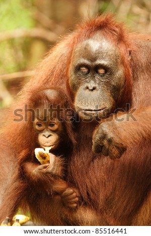 Mother and infant orangutan eating bananas