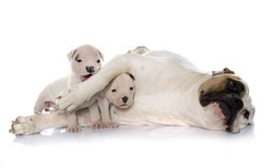 mother and puppies american bulldog in front of white background