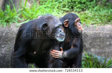Mother and son chimpanzees: young chimpanzee holds the arm and body of her chimpanzee mother, resembling a human gesture.
