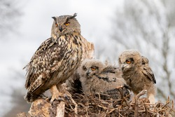 Mother and two beautiful, juvenile European Eagle Owl (Bubo bubo) in the nest in the Netherlands. Wild bird of prey with brown feathers and large orange eyes.