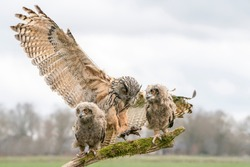 Mother and two beautiful, juvenile European Eagle Owl (Bubo bubo) on a branch in the Netherlands. Wild bird of prey with brown feathers and large orange eyes.